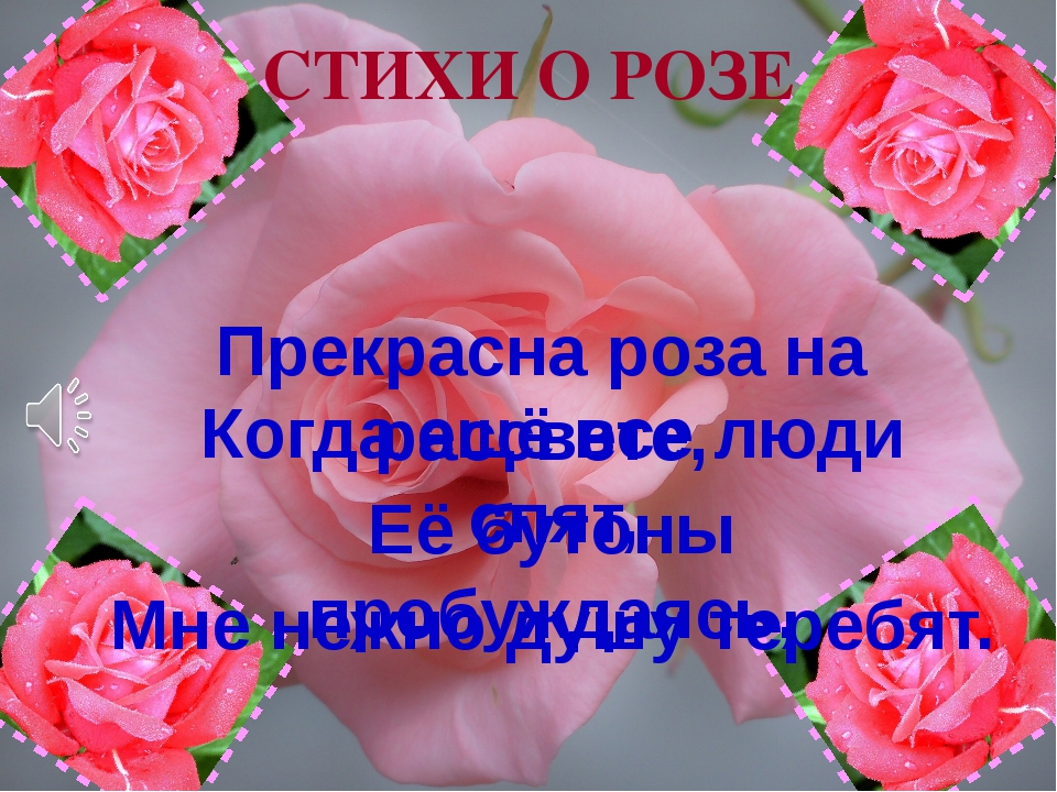 Прекрасна роза на рассвете, Когда ещё все люди спят, Её бутоны пробуждаясь, М...