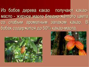 Из бобов дерева какао получают какао-масло - жирное масло бледно-жёлтого цвет