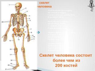 скелет человека Скелет человека состоит более чем из 200 костей Чтоб на кисел