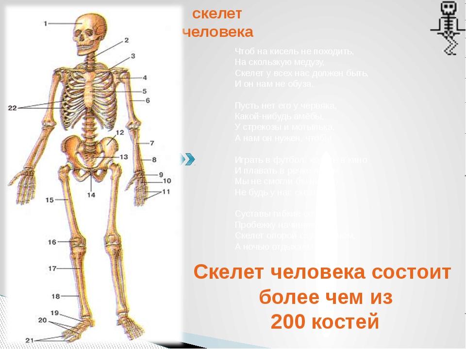 скелет человека Скелет человека состоит более чем из 200 костей Чтоб на кисел...