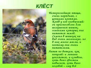 КЛЁСТ Интереснейшая птица, очень нарядная, с цепкими когтями. Клюв у неё необ