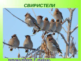 СВИРИСТЕЛИ Эту птицу легко узнать по большим остроконечным красноватым хохолк