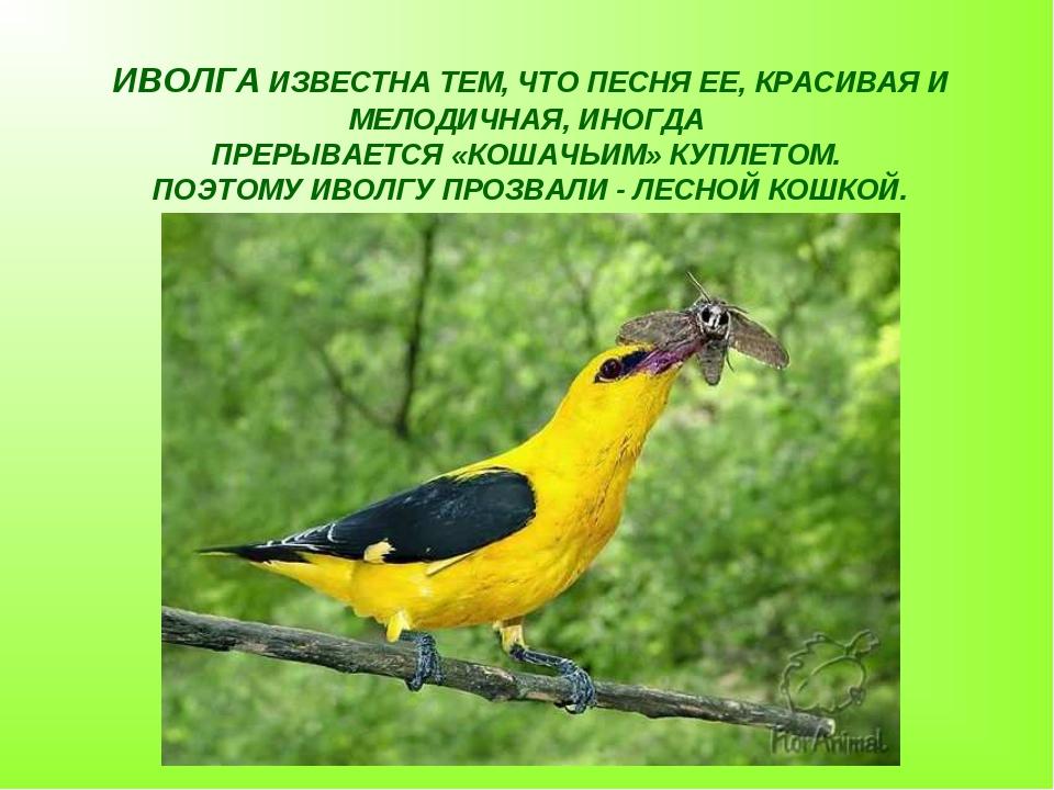 ИВОЛГА ИЗВЕСТНА ТЕМ, ЧТО ПЕСНЯ ЕЕ, КРАСИВАЯ И МЕЛОДИЧНАЯ, ИНОГДА ПРЕРЫВАЕТСЯ...