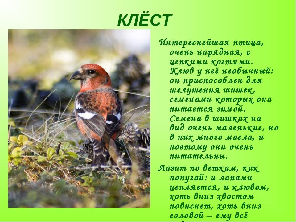 КЛЁСТ Интереснейшая птица, очень нарядная, с цепкими когтями. Клюв у неё необ...