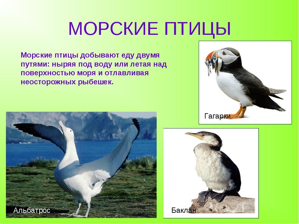 МОРСКИЕ ПТИЦЫ Баклан Альбатрос Гагарки Морские птицы добывают еду двумя путям...