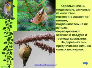 Корольки очень подвижные, активные птички. Они постоянно лазают по ветвям, по
