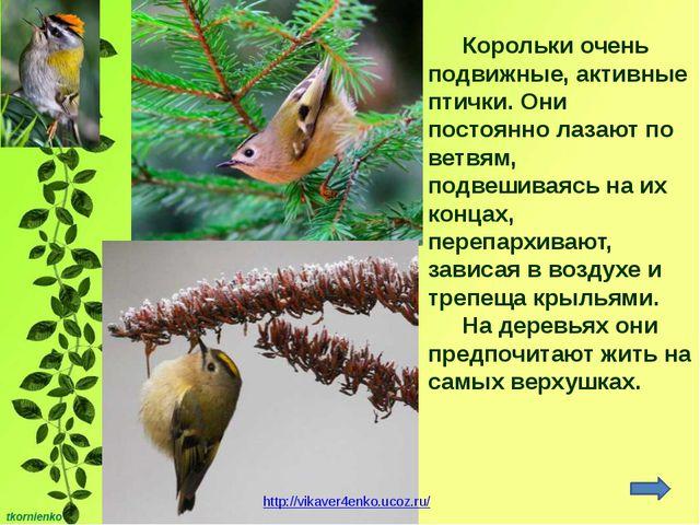 Корольки очень подвижные, активные птички. Они постоянно лазают по ветвям, по...