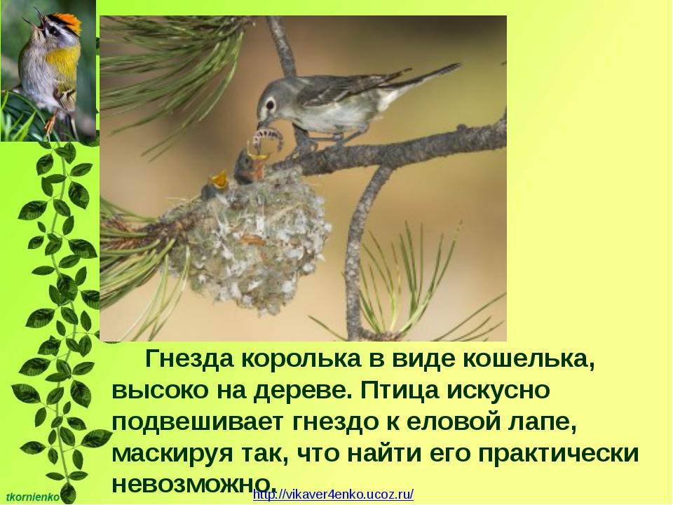 Гнезда королька в виде кошелька, высоко на дереве. Птица искусно подвешивает...