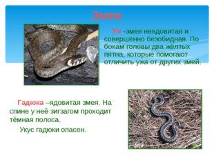 Уж -змея неядовитая и совершенно безобидная. По бокам головы два жёлтых пятн