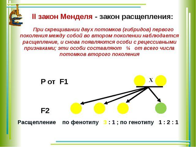 II закон Менделя - закон расщепления: При скрещивании двух потомков (гибридо...