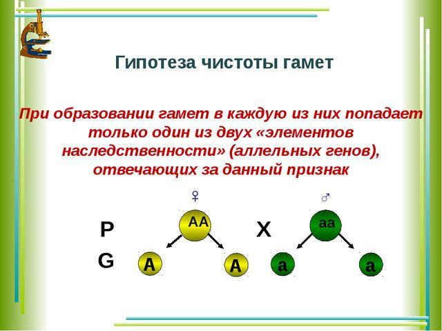 Гипотеза чистоты гамет При образовании гамет в каждую из них попадает только...