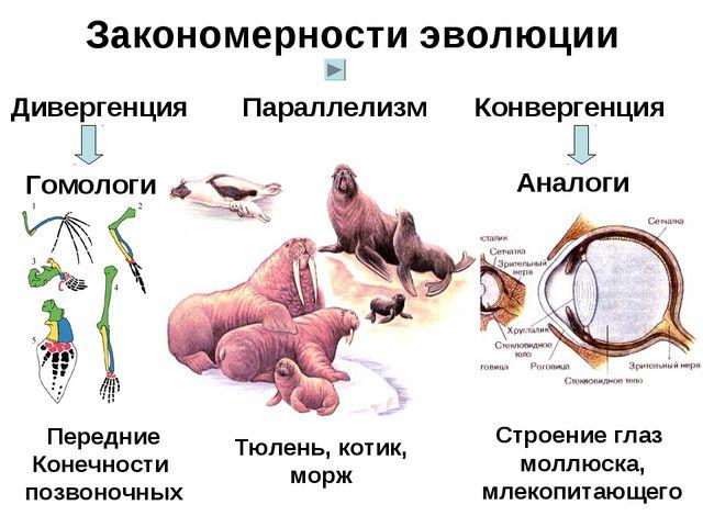 Закономерности эволюции Дивергенция Гомологи Конвергенция Аналоги Параллелизм...