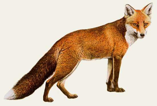 http://lisa-fox.ru/wp/wp-content/uploads/2012/02/lisahvost.jpg