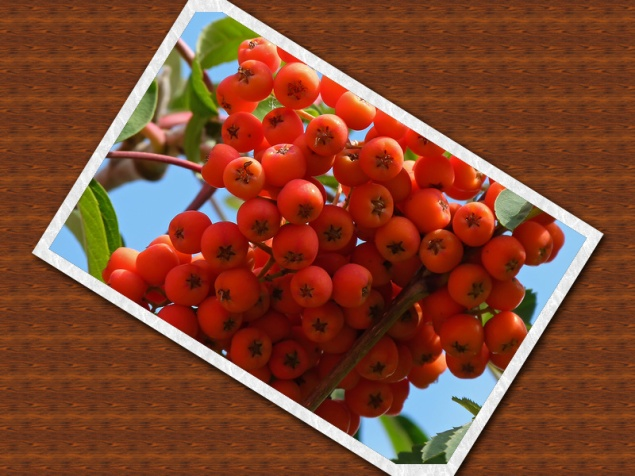 гроздь рябины.jpg