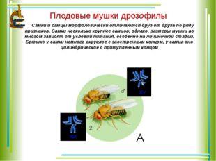 Плодовые мушки дрозофилы Самки и самцы морфологически отличаются друг от дру