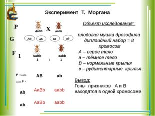 аb АВ Эксперимент Т. Моргана Объект исследования: плодовая мушка дрозофила ди