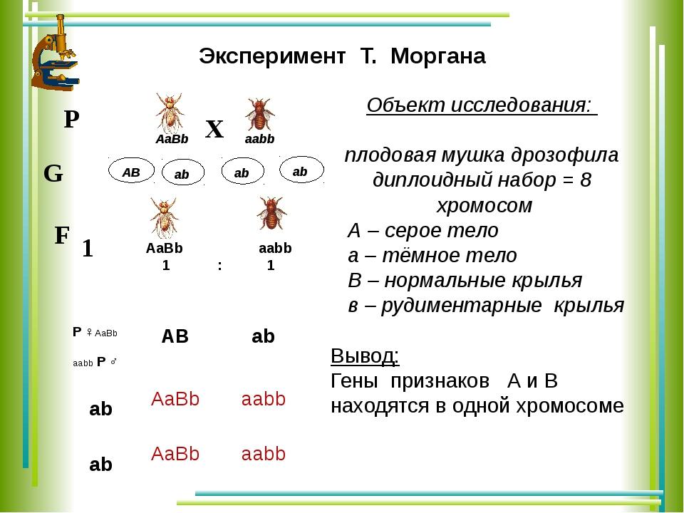 аb АВ Эксперимент Т. Моргана Объект исследования: плодовая мушка дрозофила ди...