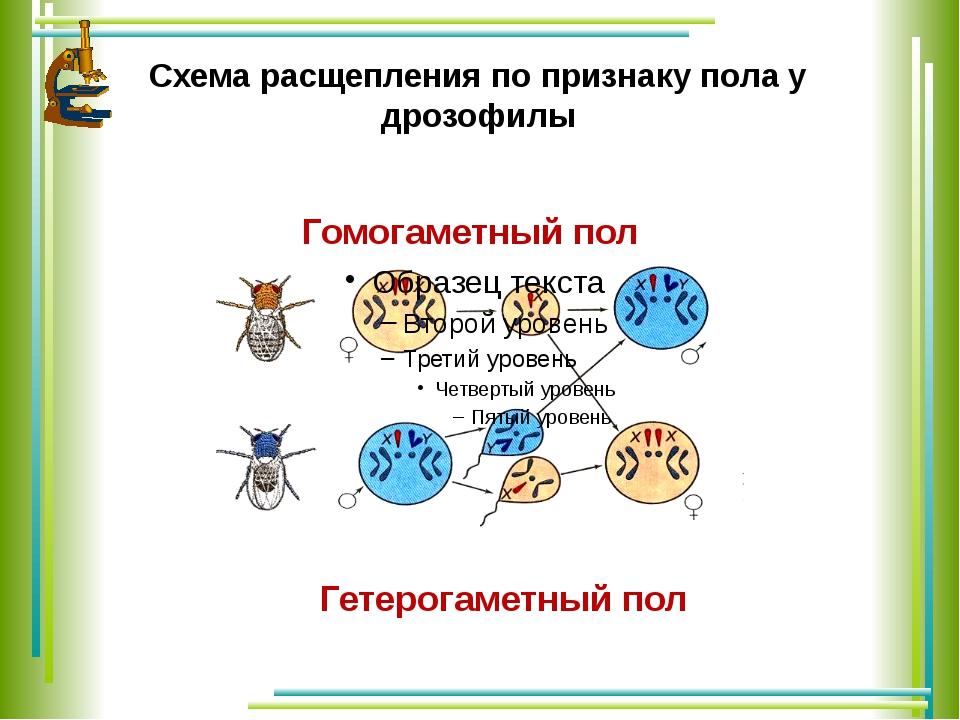 Схема расщепления по признаку пола у дрозофилы Гомогаметный пол Гетерогаметны...