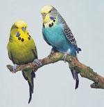 Уход за волнистыми попугаями
