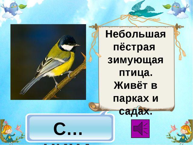 С…НИЦА Небольшая пёстрая зимующая птица. Живёт в парках и садах.
