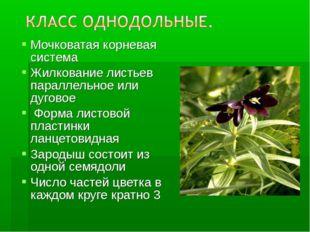 Мочковатая корневая система Жилкование листьев параллельное или дуговое Форма