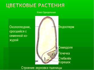 Класс Однодольные Околоплодник, сросшийся с семенной ко- журой Эндосперм Семя