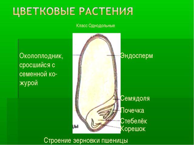 Класс Однодольные Околоплодник, сросшийся с семенной ко- журой Эндосперм Семя...
