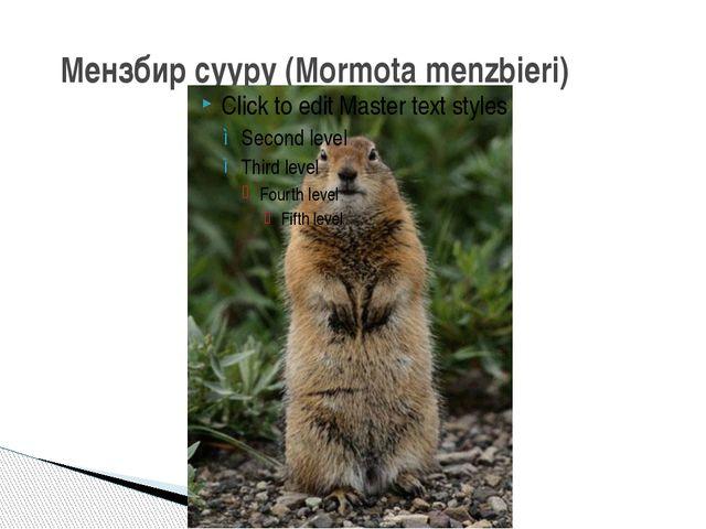 Мензбир сууру (Mormota menzbieri)