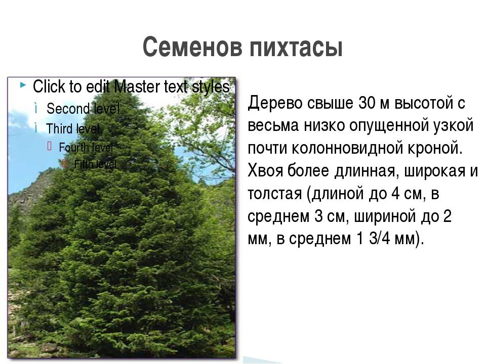 Семенов пихтасы Дерево свыше 30 м высотой с весьма низко опущенной узкой почт...