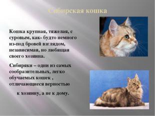 Сибирская кошка Кошка крупная, тяжелая, с суровым, как- будто немного из-под