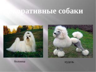 болонка пудель Декоративные собаки