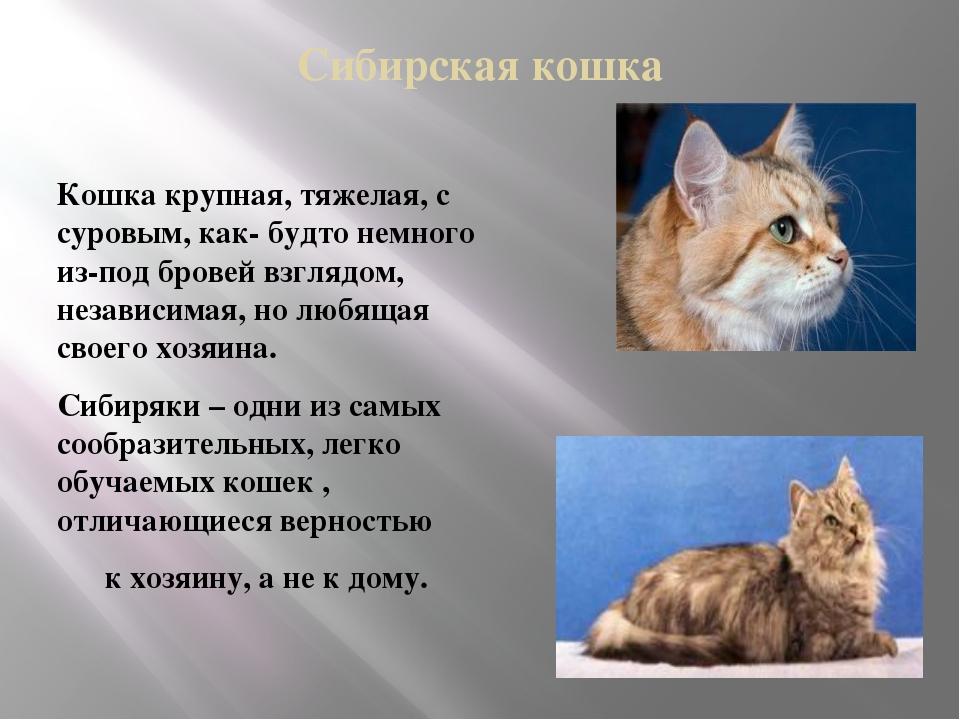 Сибирская кошка Кошка крупная, тяжелая, с суровым, как- будто немного из-под...