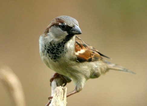 http://natuurfotografie.oosterum.nl/Vogels/Mussen/mussen3.JPG