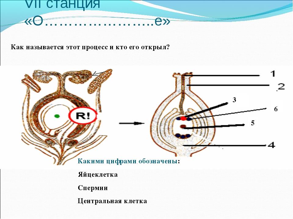 VII станция «О…………………..е» Какими цифрами обозначены: Яйцеклетка Спермии Центр...