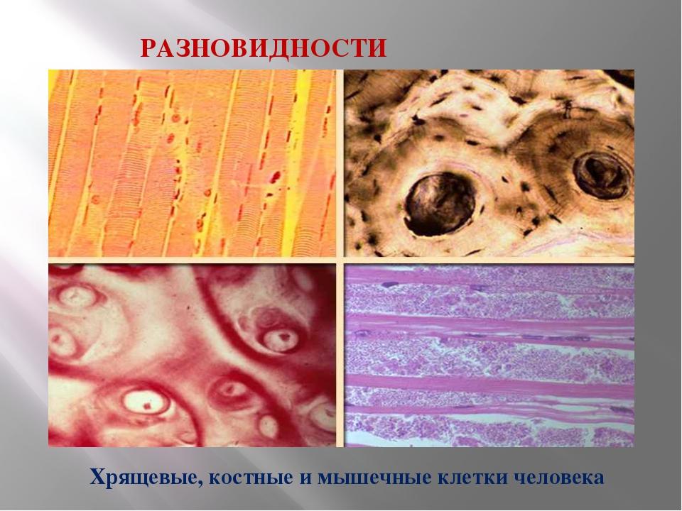 РАЗНОВИДНОСТИ КЛЕТОК. Хрящевые, костные и мышечные клетки человека