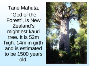"Tane Mahuta, ""God of the Forest"", is New Zealand's mightiest kauri tree. It i"