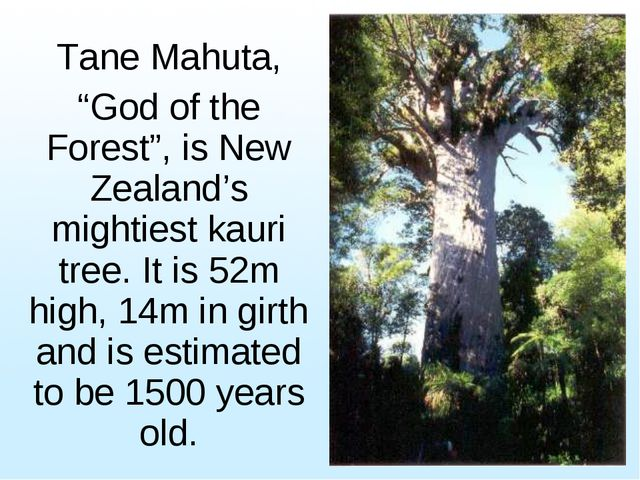 "Tane Mahuta, ""God of the Forest"", is New Zealand's mightiest kauri tree. It i..."