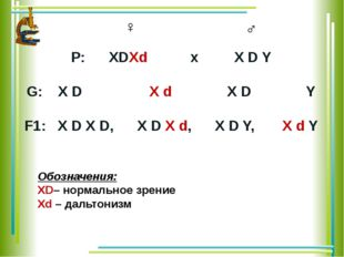 Р: ХDХd х Х D Y G: Х D Х d Х D Y F1: X D X D, X D X d, X D Y, X d Y ♀ ♂ Обозн