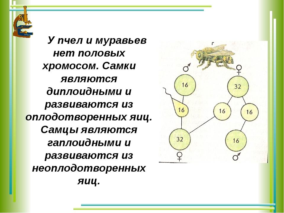 У пчел и муравьев нет половых хромосом. Самки являются диплоидными и развива...