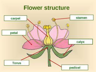 Flower structure carpel petal stamen pedicel Torus calyx