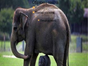 огромные, сильные,умныеи общительные млекопитающие. самцы африканского вид