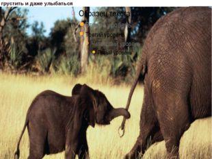 Африканский слон признан самым крупным млекопитающим на земле. Слоны, как и