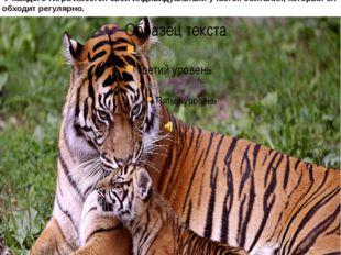 тигры обитают в Приморье и некоторых соседних районах. Один из самых грозных