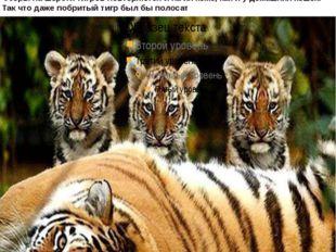 Тигры – одни из самых разнообразных кошек в мире и обладают многими уникальны