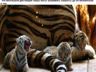 вы знаете, зрачки у кошек продолговатой формы? А у тигров – круглые. такая