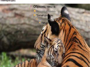 хвост у тигра опоясан десятью кольцами черного цвета и увенчан таким же черн