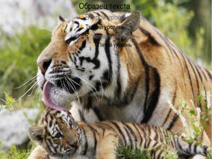 Все части тела тигра и даже внутренние органы используются в «восточной» меди