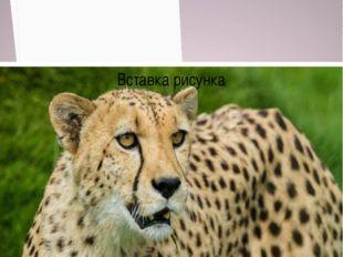 Гепард численность около 4 тысяч особей Численность Около 8000 особей