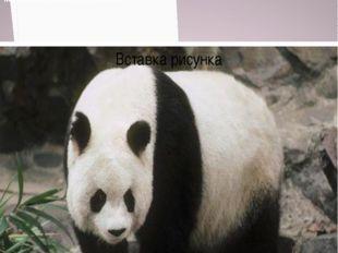 Панда численность около 1600 особей Численность около 1500 особей