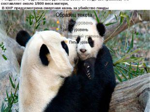 панда, илибамбуковый медведь обитают вгорныхрегионах центрального Китая: